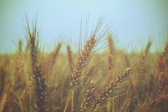 Ears of wheat on the field - vintage Royalty Free Stock Photos