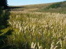 Ears of wheat in the forest. Ears of wheat in a wild forest in the morning Royalty Free Stock Photography