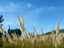Ears of wheat in the forest. Ears of wheat in a wild forest in the morning Royalty Free Stock Photo