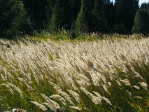 Ears of wheat in the forest. Ears of wheat in a wild forest in the morning Stock Photo