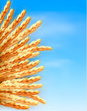 Ears of wheat in front of blue sky. Stock Photos