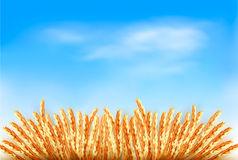 Ears of wheat in front of blue sky. Royalty Free Stock Photography