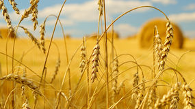 Ears of wheat. Golden spikelets of wheat with a sheaves of hay on the background stock images