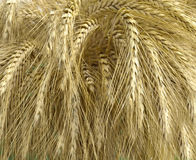 Ears of wheat. Golden wheat ears from which flour is made Royalty Free Stock Images