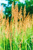 Ears of wheat grass on the beautiful blurred background