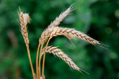 Ears of wheat on green background Royalty Free Stock Photos