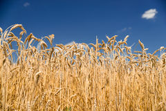 Ears of wheat growing on the field Royalty Free Stock Photo