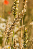 Ears of wheat. Ears of wheat growing in the field of flowers Royalty Free Stock Image