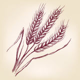 Ears of wheat hand drawn vector illustration sketch Stock Image