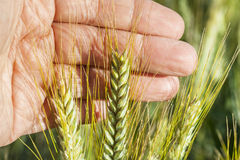 Ears of wheat in hand. Stock Photo