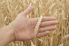 Ears of wheat on hand Stock Photography