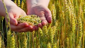 Ears of wheat in hands stock footage
