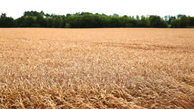 Ears of wheat before the harvest Royalty Free Stock Photos