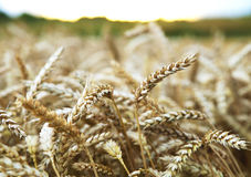 Ears of wheat before the harvest Stock Photography