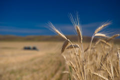 Ears of wheat and harvesters Stock Photos