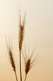 Ears of wheat illuminated by specific morning light Stock Photo