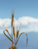 Ears of wheat isolated on background of blue sky Stock Photography