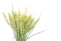 Ears of wheat. Wheat ears isolated on white background Royalty Free Stock Photography