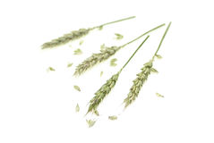 Ears. Wheat ears isolated on white background Royalty Free Stock Photography