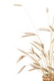 Ears of wheat. Isolated on a white background Stock Photo