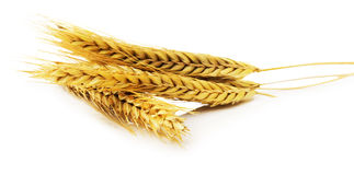 Ears of wheat isolated on the white background Royalty Free Stock Image
