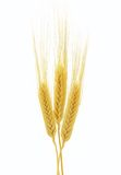 Ears of wheat isolated on white background Royalty Free Stock Images