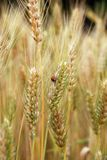 Ears of wheat and ladybird Royalty Free Stock Images