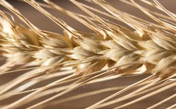 Ears of wheat . macro. Photos in the studio Royalty Free Stock Photo