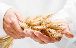 Ears of wheat in man hands. On white background Royalty Free Stock Images