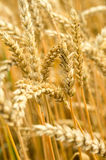 Ears of wheat on natural background Stock Photography