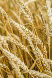 Ears of wheat on natural background Royalty Free Stock Image