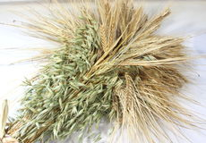 Ears of wheat and oats Royalty Free Stock Photo