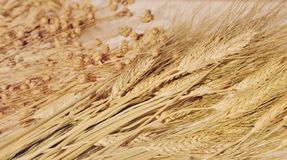 Ears of wheat and oats, cereals royalty free stock photo