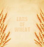 Ears of wheat on old paper background. Royalty Free Stock Photo