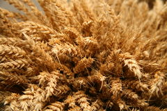Ears of wheat. Ripe ears of wheat closeup Royalty Free Stock Photo