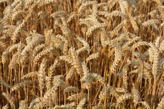 Ears of wheat, ripe and ready for harvest royalty free stock photos