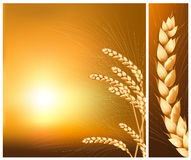 Ears of wheat on the  rising sun background. Royalty Free Stock Photography
