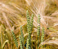 Ears of wheat in  rye field Royalty Free Stock Photography