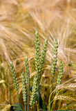 Ears of wheat in a rye field Stock Images