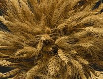 Ears of Wheat, rye, millet pshenici assembled in bouquet royalty free stock images