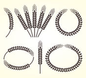 Ears of wheat and rye set. Vector Stock Image