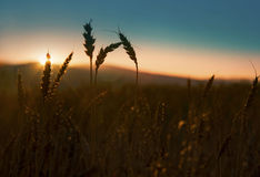 Ears of wheat silhouettes in the sunset light Stock Images