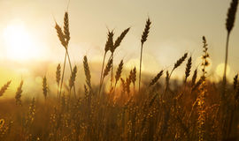 Ears of wheat silhouettes in the sunset light Royalty Free Stock Images