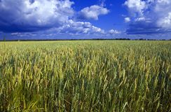 Ears of wheat on sky background Stock Photos