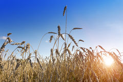Ears of wheat on sky background Royalty Free Stock Photos