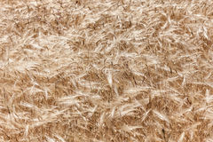 Ears of wheat. Stirred by the wind in a field in Sardinia Stock Images