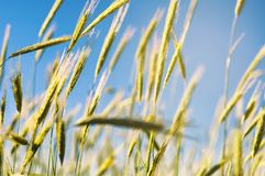 Ears of wheat at summer day royalty free stock images