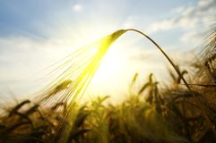 Ears of wheat sun against Royalty Free Stock Photos