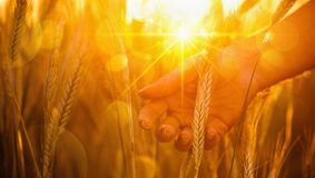 Ears of wheat in the sun stock images