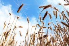Ears of wheat in the sunlight. Golden wheat on the countryside, ripe cereals Stock Photography